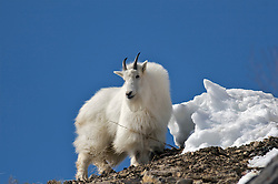 Mountain Goat, Ridge top, Blue Sky, Snake River Range, Alpine, Wyoming