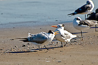 A pair of royal terns making  some noise on a cold winter day on Fernandina Beach, Florida.