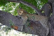 African Leopard, Panthera pardus, Relaxing in an Ebony tree. Taken near Chief's camp. Okavango Delta, Botswana, Africa, Female