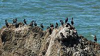 Pelagic Cormorant (Phalacrocorax pelagicus). Northern Pacific Coast Highway, California. Image taken with a Nikon D200 camera and 80-400 mm lens.