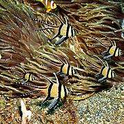 Banggai Cardinalfish inhabit shallow patch reefs and rubble. Picture taken Lembeh Straits, Sulawesi, Indonesia.