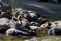 Mother merganser and chicks along the Salmon River in central Idaho.