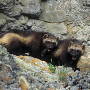 Wolverine, (Gulo gulo) Young kits. Rocky mountains. Montana. Spring. Captive Animal.