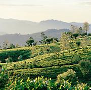 Tea plantation, Nuwara Eliya, Sri Lanka