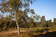 birch tree on the Wahner Heath near Fliegenberg hill, Troisdorf, North Rhine-Westphalia, Germany.<br /> <br /> Birke am Fliegenberg in der Wahner Heide ,Troisdorf, Nordrhein-Westfalen, Deutschland.