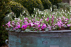 Large container planted up with snowdrops and cyclamen. Galanthus 'Atkinsii' and Cyclamen coum