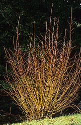 Willow stems in winter  - Salix alba 'Chermesina' syn. S. alba subsp. vitellina 'Britzensis'
