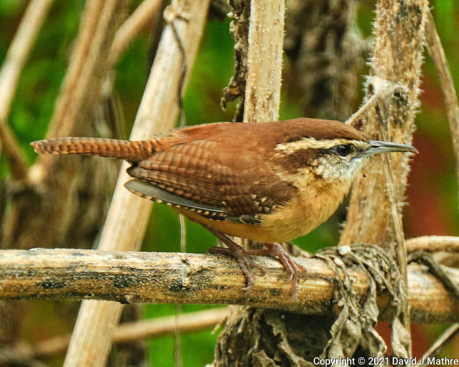 Carolina Wren. Image taken with a Fuji X-T4 camera and 100-400 mm OIS<br />  lens.