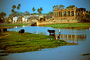 INDIA, TAMIL NADU a village near Madurai with island temple and farmer herding water buffalo across stream