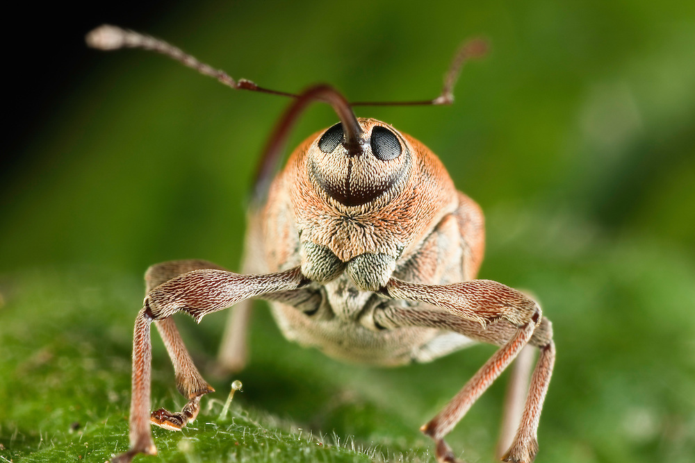 Weevil, Curculio nucum, Eastern Slovakia, Europe, Haselnussbohrer, Curculio nucum, Slowakei, Europa