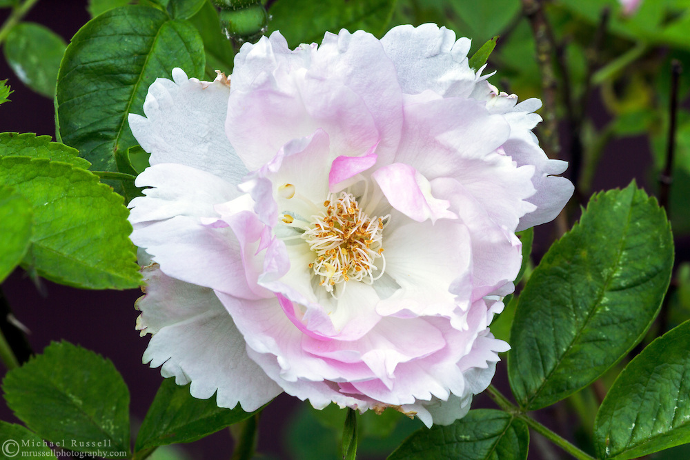 """Fimbriata ( Rosa rugosa) - a """"David Austin Rose"""" flowers during the early summer in a backyard rose garden"""