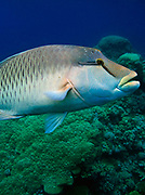 Humphead wrasse - Cheilinus undulatus also know as Napoleon wrasse, Maori wrasse, Napoleonfish, So Mei or Mameng. -  Agincourt reef, Great Barrier Reef, Queensland, Australia. <br />