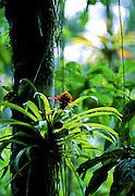 Bromeliad in tree - Amazonia, Peru.