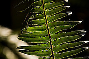 A sword fern (Polystichum munitum) glows in the sunlight filtering through the rainforest along the Marymere Falls Trail, Olympic National Park, Washington. The one-mile trail winds through mossy old growth forest to popular Marymere Falls. Spores are clearly visible on the backlit fern frond.