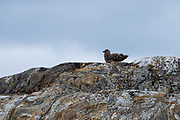 Great skua (Stercorarius skua) on a rock Photographed in Svalbard Spitsbergen, Norway in July