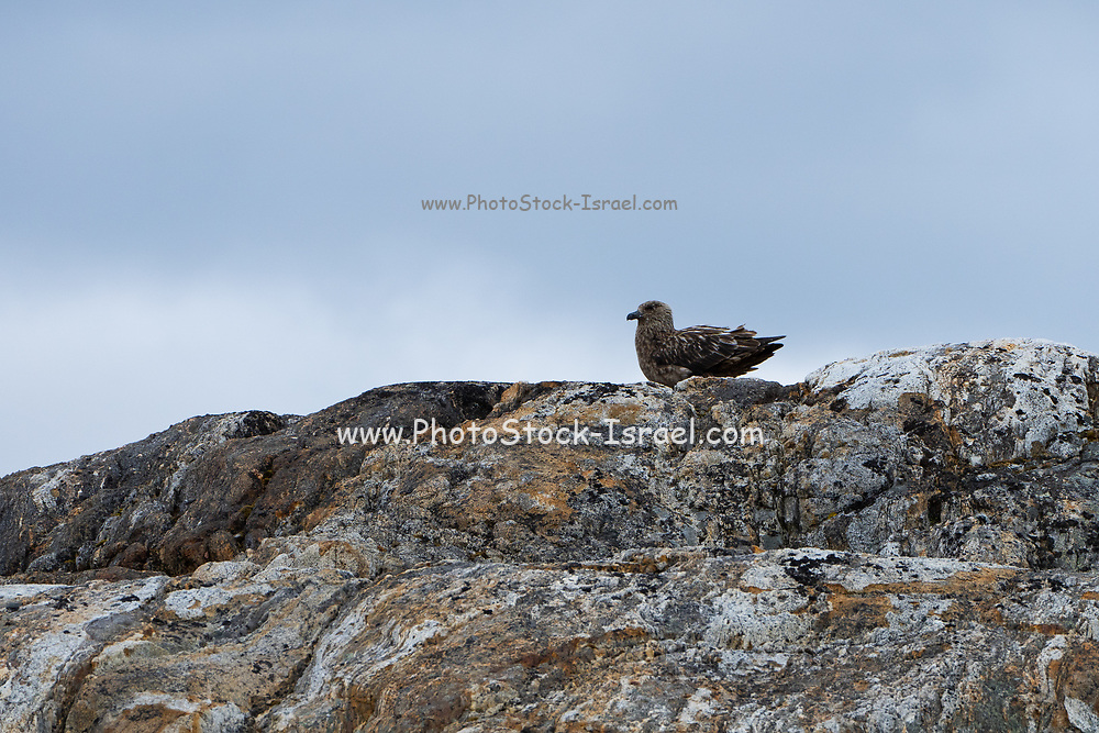 Great skua (Stercorarius skua) on a rock Photographed in Svalbard Spitsbergen, Norway in July