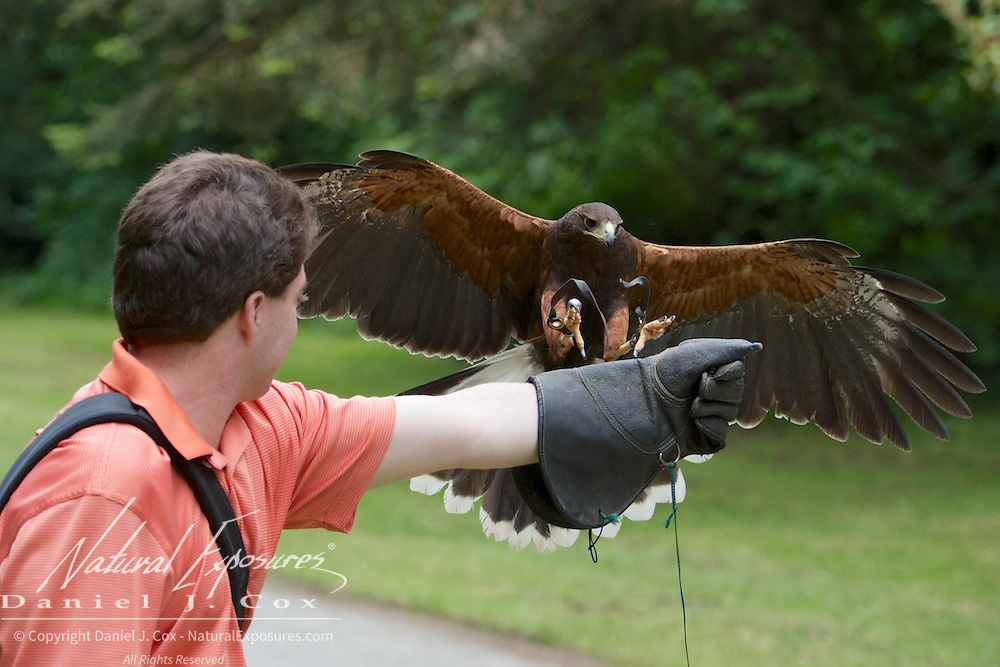 A harris hawk comes in to Brian's gloved hand during the Falconry program at Ashford Castle, Ireland.