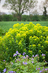 Euphorbia palustris 'Walenburg's Glorie' with Geranium libani