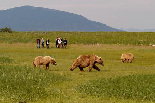 Alaskan Brown Bear (Ursus middendorffi) Photographers viewing mother and cubs forging for grasses. Katmai National Park. Alaska. ..Alaskan Brown Bear (Ursus middendorffi) Photographers viewing mother and cubs forging for grasses. Katmai National Park. Alaska.
