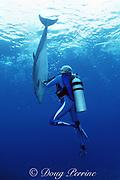 Jean-Michel Cousteau plays with Spot, a wild, longe sociable bottlenose dolphin, Tursiops truncatus, Cayman Brac, Cayman Islands ( Caribbean Sea )