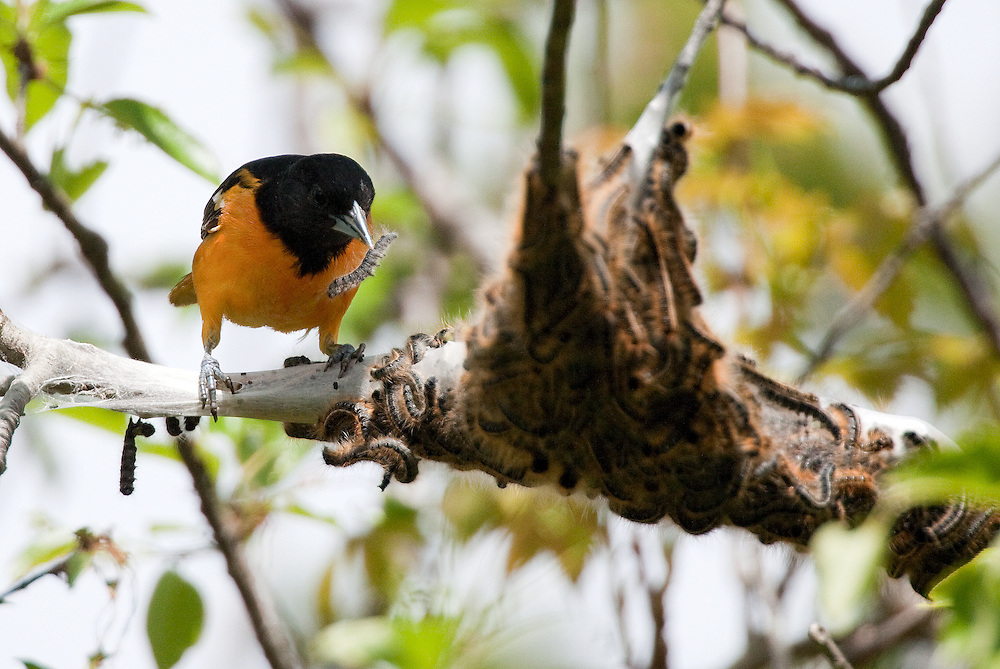 Baltimore Oriole eating Tent Caterpillar at Sandy Hook National Park New Jersey.