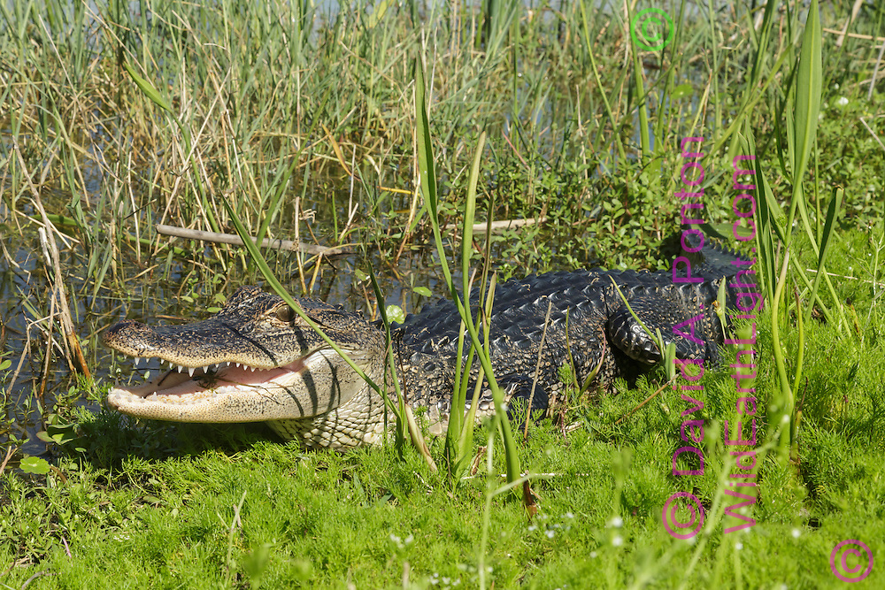 Young alligator basking in sun at edge of pool, with wetland marsh vegetation, mouth open, Florida, © David A. Ponton