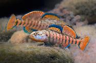 Rainbow Darters<br /> <br /> Isaac Szabo/Engbretson Underwater Photo
