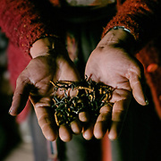 The Cordycep is a fungus that lives on certain caterpillars in the high mountain regions of the himalaya. Over the last 15 years, the fungus has changed the face of Laya. District officials said income poverty rate has today slumped by more than 90 percent because of the income generated by the fungus, mostly bought by Chinese.