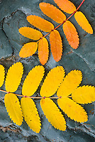 Colrful Mountain Ash leaves lying on sedimentary rocks along McDonald Creek, Glacier National Park Montana USA