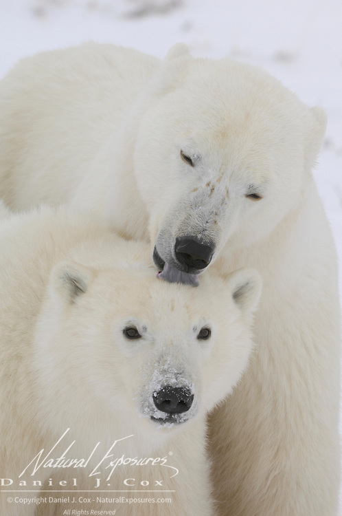 Polar Bear (Ursus maritimus) mother licking her cub on the top of its head. Winter in Churchill, Manitoba, Canada
