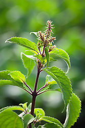 Tree Basil, Himalayan Basil, Clove Basil. Ocimum gratissimum