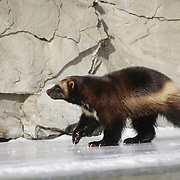 Wolverine (Gulo gulo) adult on a frozen river in the Rocky Mountains of Montana. Captive Animal