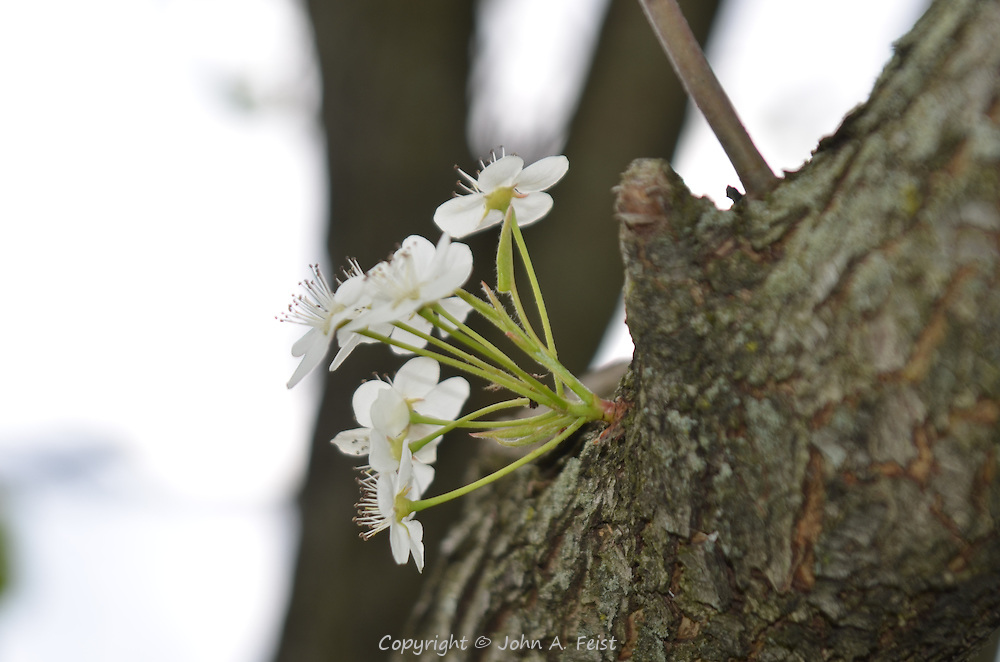 A small group of dogwood flowers coming out of the trunk.  Hillsborough, NJ