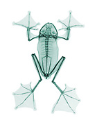 An X-ray of a Wallace's Flying Frog. (Rhacophorus nigropalmatus). Also called Abah River Flying Frog.