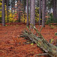"""Fallen Tree""<br /> <br /> An Upper Peninsula Michigan pine forest. A lovely carpet of pine needles and a fallen tree!!"