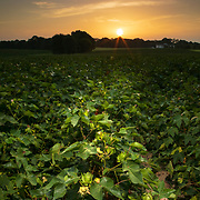 Cotton grows in a Sidney McLaurin's field as the sun rises near Brandon, Mississippi. Nathan Lambrecht/Journal Communications
