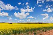 Flowering canola crop in farm paddock under blue sky and cumulus clouds at Junee, New South Wales, Australia. <br />
