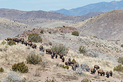 Bison herd on move in line across rolling hills during bison roundup, Ladder Ranch, west of Truth or Consequences, New Mexico, USA.