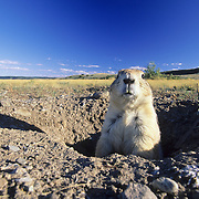 Black-Tailed Prairie Dog (Cynomys ludovicians) in Montana.