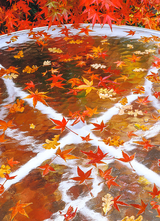 """""""Autumn Picnic"""", Japanese maple leaves on a picnic table, private residence, Contra Costa County, California, USA"""