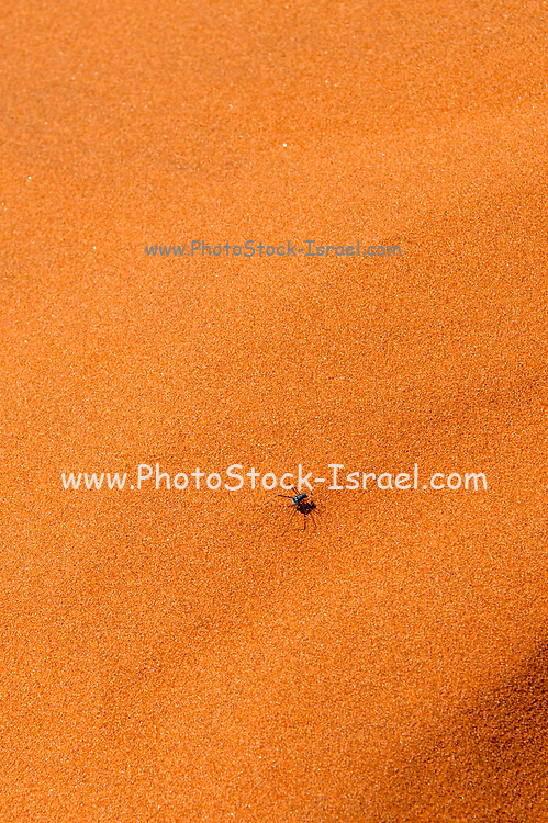 A beetle scurries across a sand dune. Photographed at The red sand dunes at Namib-Naukluft National Park, Namibia. The red colour is an indication of the age of this dune as it is caused by the oxidation of iron in the sand