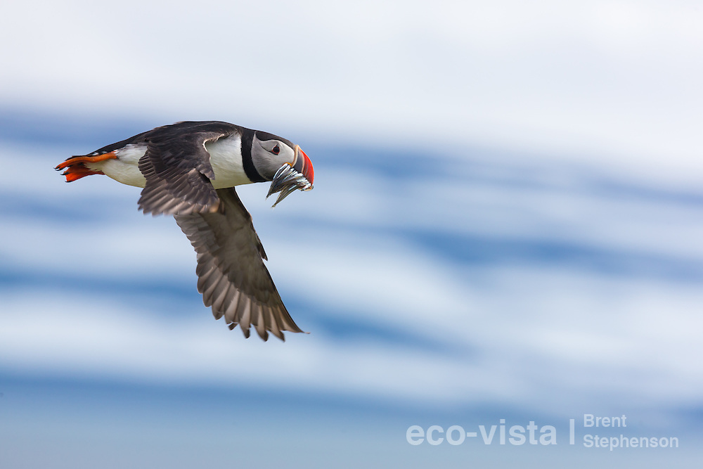 An Atlantic puffin (Fratercula arctica) flies past with a beakful of sand eels (Ammodytidae), heading back to its breeding burrow to feed a chick. Vigur Island, Isafjardardjup, Iceland. July.