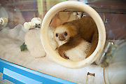 Hoffmann's Two-toed Sloth <br /> Choloepus hoffmanni<br /> Orphaned baby in incubator<br /> Aviarios Sloth Sanctuary, Costa Rica<br /> *Rescued and in rehabilitation program