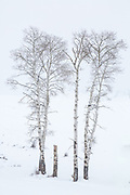 Aspen trees during winter in Yellowstone National Park