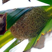 USA, California, San Diego. Hooded Oriole nest in Banana Leaf.