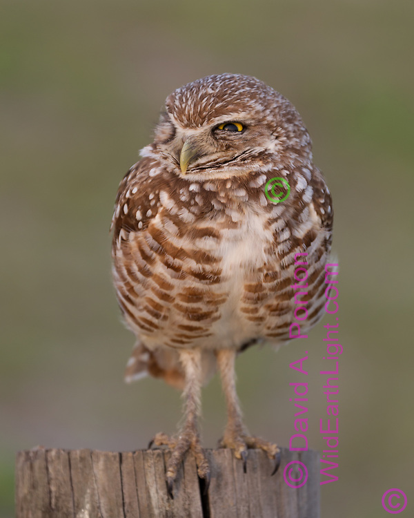 Burrowing owl hunting from a fence post, © David A. Ponton