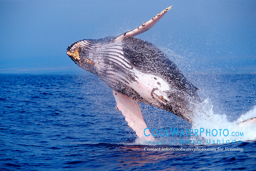 humpback whale, breaching, Megaptera novaeangliae, note parasitic acorn barnacles, Coronula diaderma, and long-necked goose barnacles, Conchorderma auritum, under chin, Hawaii, Pacific Ocean