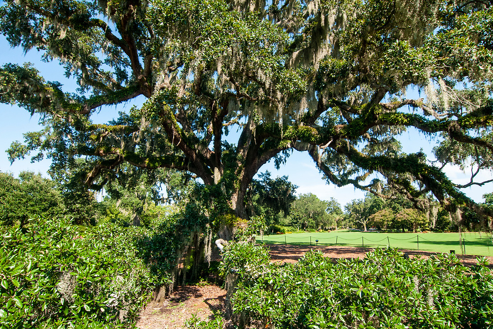 The massive Airlie Oak in Airlie Gardens in Wilmington, North Carolina on Tuesday, August 10, 2021. Copyright 2021 Jason Barnette