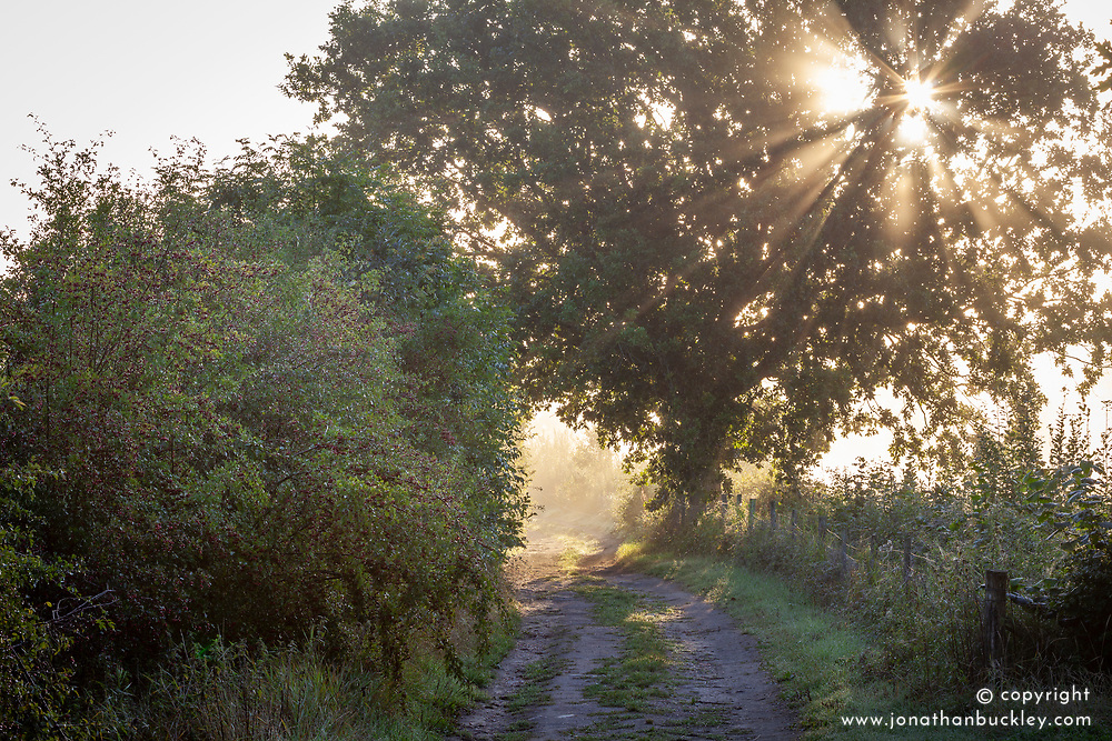 Lane with hawthorn berries early on an misty autumn morning. Crataegus monogyna - Common hawthorn, Maythorn, Motherdie, Quickthorn, Hedgerow thorn