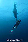 diver fends off inquisitive tiger shark, Galeocerdo cuvier, with camera, Aliwal Shoals, South Africa ( Indian Ocean )